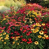 Cottage Hill Echinacea 'Cheyenne Spirit' - 6 Piece Live Plant Perennial Multi-Colored Blooms