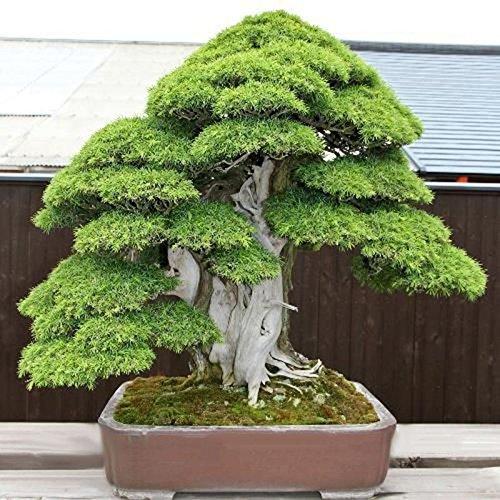 20Pcs Sacred Japanese Cedar Semillas Bonsai Plant Seeds Green Color
