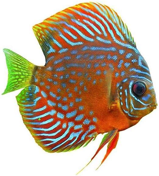 TROPICAL DISCUS FISH ORANGE PHOTO FINE ART PRINT POSTER HOME DECOR BMP121B