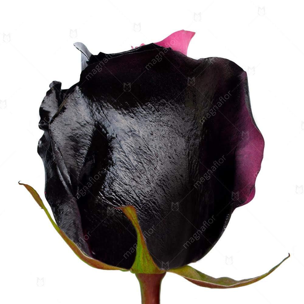 FRESH Tinted Roses| Black and Pink| 25 stems (Asteroid Rose) Magnaflor - XXL Blooms| Bunch| 10-12 days vase Life by Magnaflor - Wholesale Roses & More (Image #4)