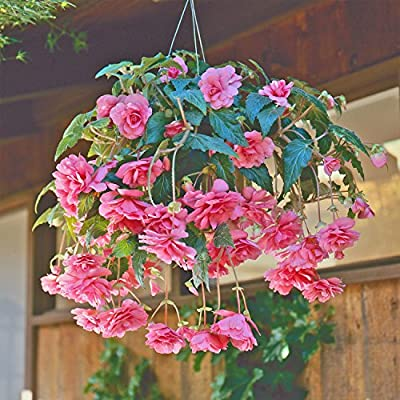 """Amerihybrid Tuberous Begonia Hanging Basket Pink Profusion - 3 Big Bulbs - 4"""" Blooms - Pink Trailing Blooms   Ships from Easy to Grow : Garden & Outdoor"""