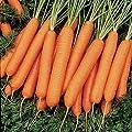 Nelson Hybrid Carrot 200 Seeds #8133 Item Upc#650348691691
