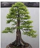 Metasequoia glyptostroboides - Urweltmammutbaum - Bonsai - 20 Samen