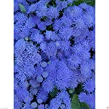 400 Seeds Flossflower Seeds, Garden Ageratum, Ageratum Mexicanum Blue Mink, Blueweed !