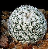 Futaba Aurora Ball Cactus Seeds - 10 Pcs