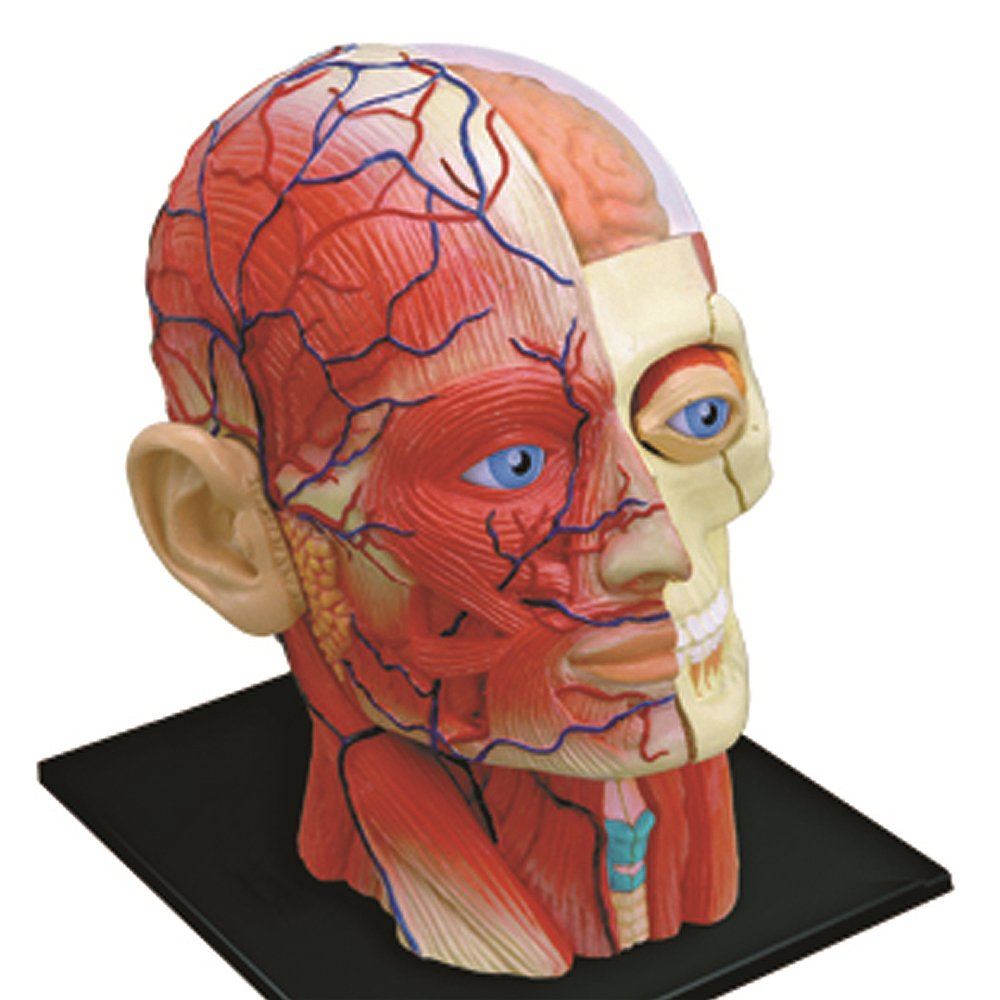 Amazon.com: 4D Vision Human Head Anatomy Model: Toys & Games