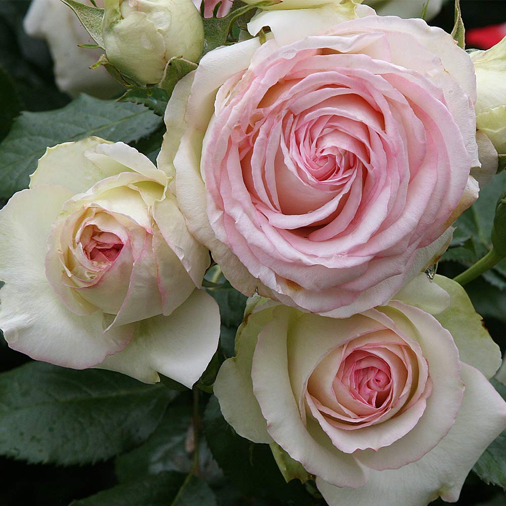 Own-Root One Gallon Eden Climbing Rose by Heirloom Roses by Heirloom Roses (Image #1)