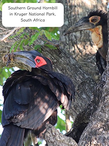 Clip: Southern Ground Hornbill in Kruger National Park, South Africa (The Southern Park)