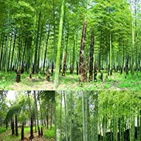 TOPmountain Moso Bamboo Seeds 100pcs Semillas de bambú