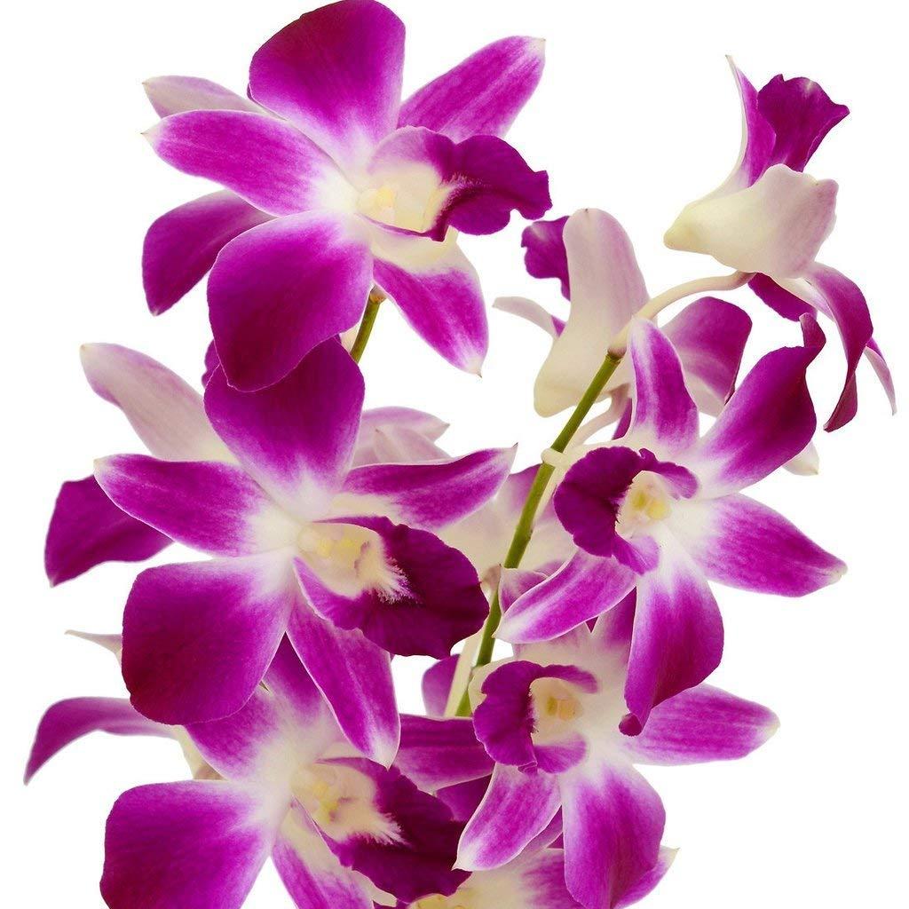 HAWAIIAN DENDROBIUM ORCHID PLANT 2'' POT ~ GROW HAWAII