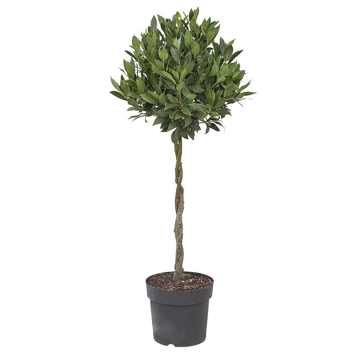 Indoor Plant Height: 100 cm BOTANICLY Laurus Nobilis Bay Leaf