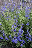 Live Germander Sage (Blue) aka Salvia chamaedryoides Plant Fit 1 Gallon Pot