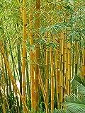 100+ Yellow Bamboo Seeds Phyllostachys Aureosulcata USA Seller Gold Bamboo