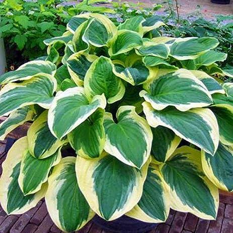 Amazon diana rememered hosta quart pot fragrant white diana rememered hosta quart pot fragrant white flowers mightylinksfo