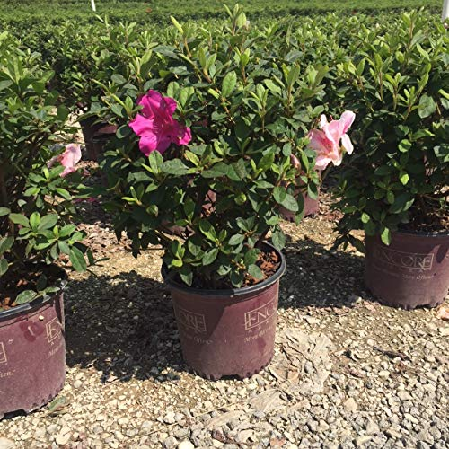 Encore Azalea | 1 Gallon Autumn Twist, Multicolor Re-Blooming Evergreen Shrub by Encore (Image #5)
