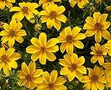 1000 Bulk Seeds Bidens (Golden) Flower Garden Plant