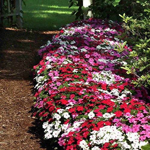 Impatiens Flower Garden Seeds - F1 Dazzler Series - Merlot Mix - 500 Seeds - Annual Flower Gardening Seeds - Impatiens wallerana