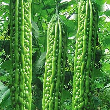 Mara Long Variety - (OP) - Momordica charantia - Non-GMO Seeds (Green48-55+Seeds): Amazon.ca: Patio, Lawn & Garden
