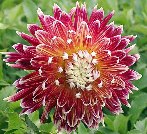 Akita Dahlia 2 Root Clumps - Burnt Red with White Tips