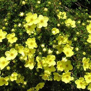 1 X POTENTILLA GOLD STAR DECIDUOUS SHRUB HARDY GARDEN PLANT IN