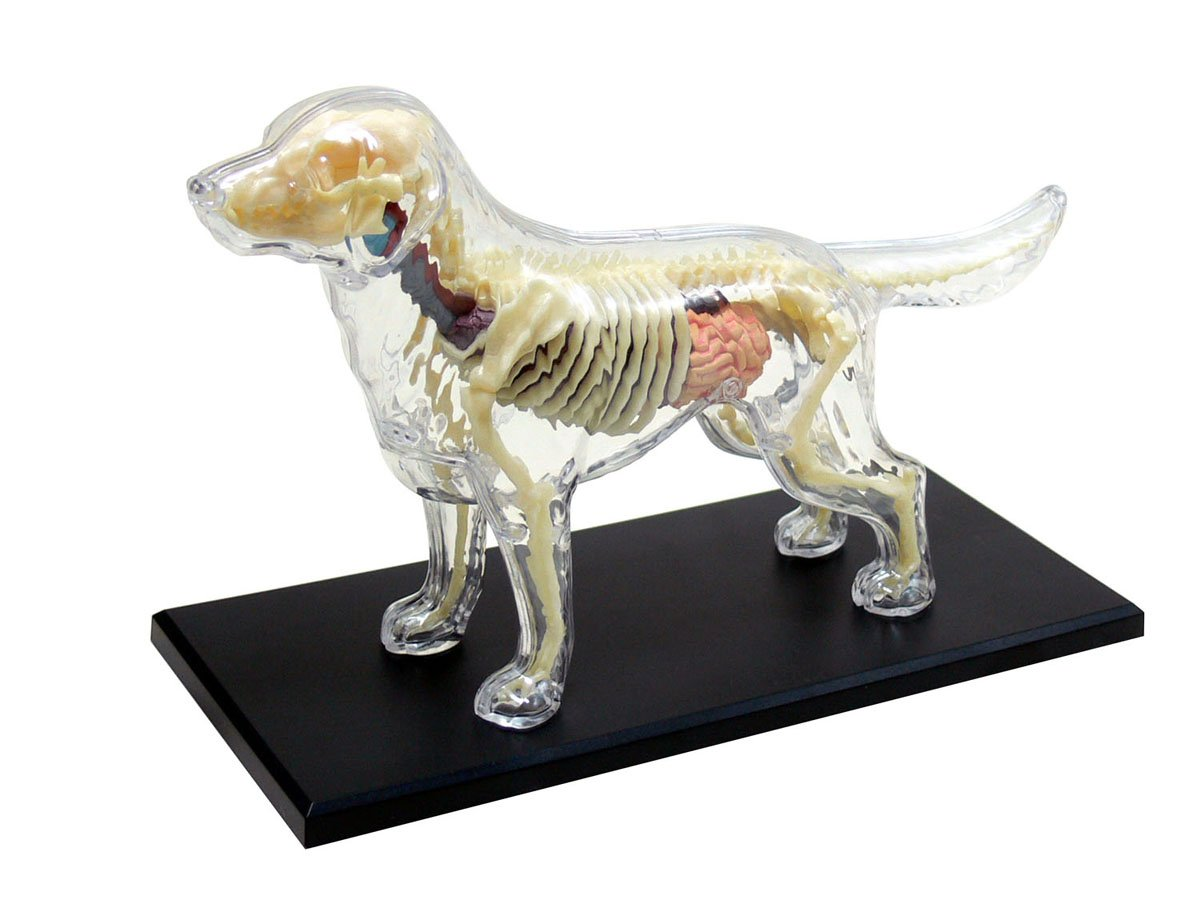 Dog Anatomy Skeleton Model (Plastic model), Toys & Games - Amazon Canada