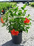 Hibiscus rosa-sinensis 'Double Red', Chinese Hibiscus - 3G Live Plant - Bush