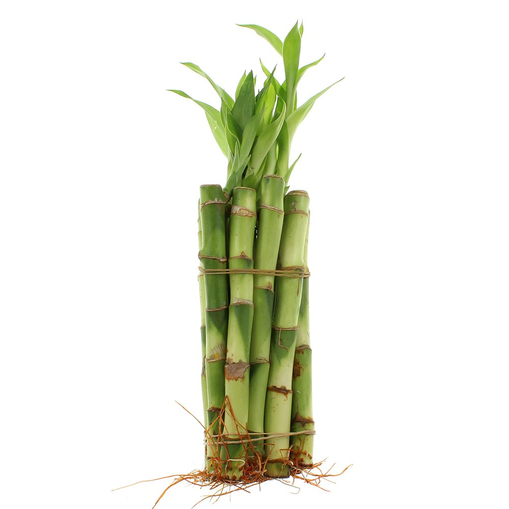 NW Wholesaler - 6'' Straight Lucky Bamboo Bundle of 10 Stalks