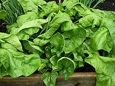 Spinach Seeds- Organic- Winter Giant- 200+ Heirloom Seeds