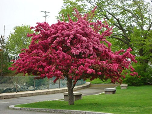Grow Your Own Fruit Trees and Berries! ! (Red Crabapple)