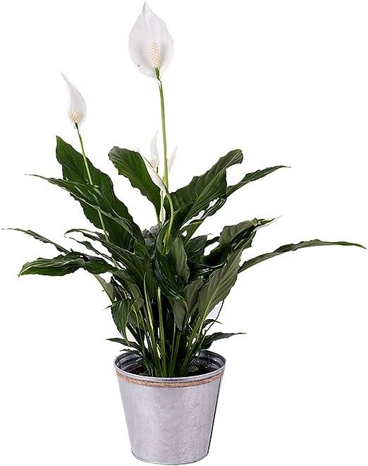 Fiori 24 Ore.Piante Naturali Florachic Fiore Della Pace Invio Gratis In 24