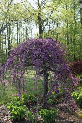 Redbud Lavender Twist > Cercis canadensis 'Covey' >Landscape Ready 5 gallon (Lavender Twist)