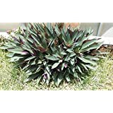 Oyster plant aka Moses in the cradle (3 full plants per order)