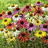 Van Zyverden Echinacea Cone Flower Mixed Bulbs