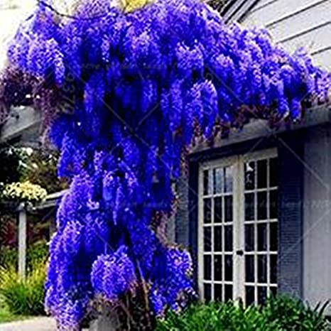 10 Seeds Pack New Blue Wisteria Tree Seeds Indoor Ornamental Plants Seeds Wisteria Flower Seeds Beautiful Your Gardon Amazon Ca Patio Lawn Garden