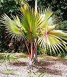 Seeds: Fresh SEEDSLATANIA LONTAROIDESRED LATAN Palm