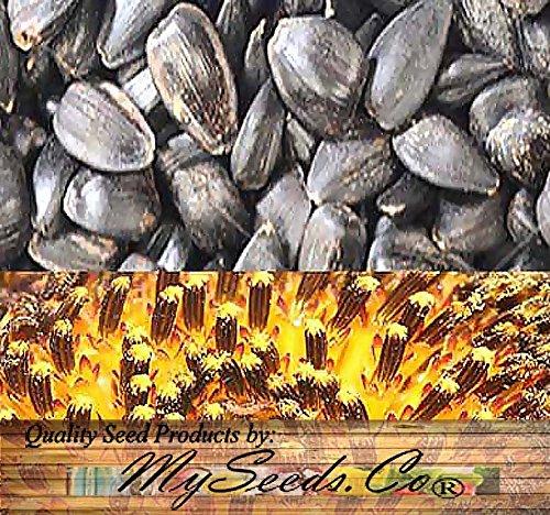 10 LB (92,000+ Seeds) PEREDOVIK Sunflower Seeds - Game Birds & Deer Favorite - Rich in Oil A+ for PLOT FOOD WILDLIFE - Non-GMO Seeds By MySeeds.Co (10 LB Peredovik Sunflower) by MySeeds.Co - Flower Seeds by the LB (Image #1)