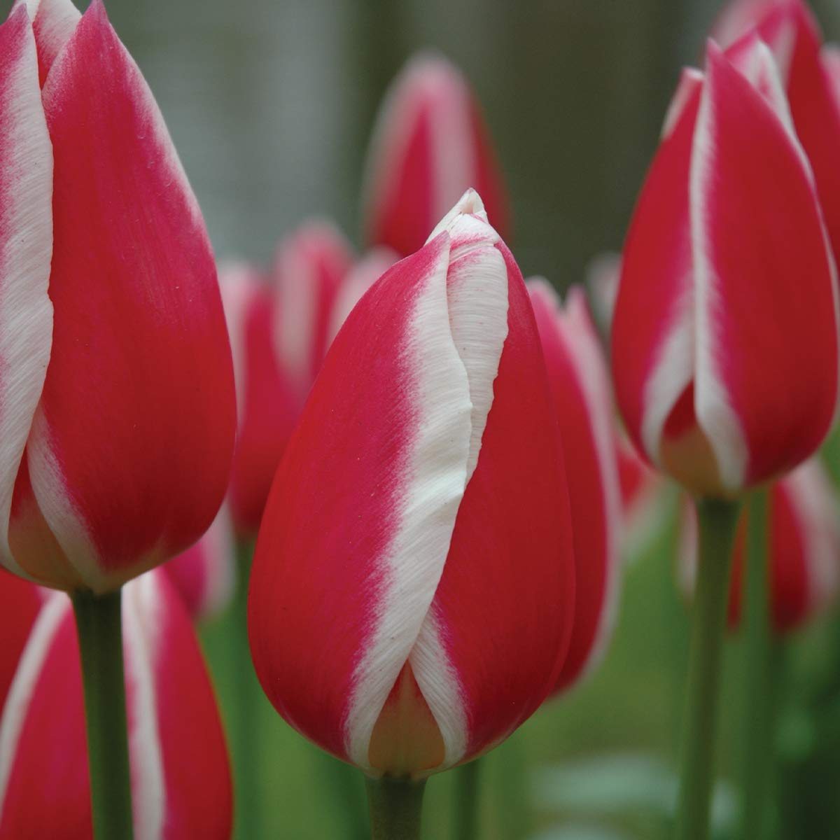 Burpee Candy Apple Delight Darwin Hybrid Tulip | 10 Large Flowering Fall Bulbs for Planting, Red & White by Burpee