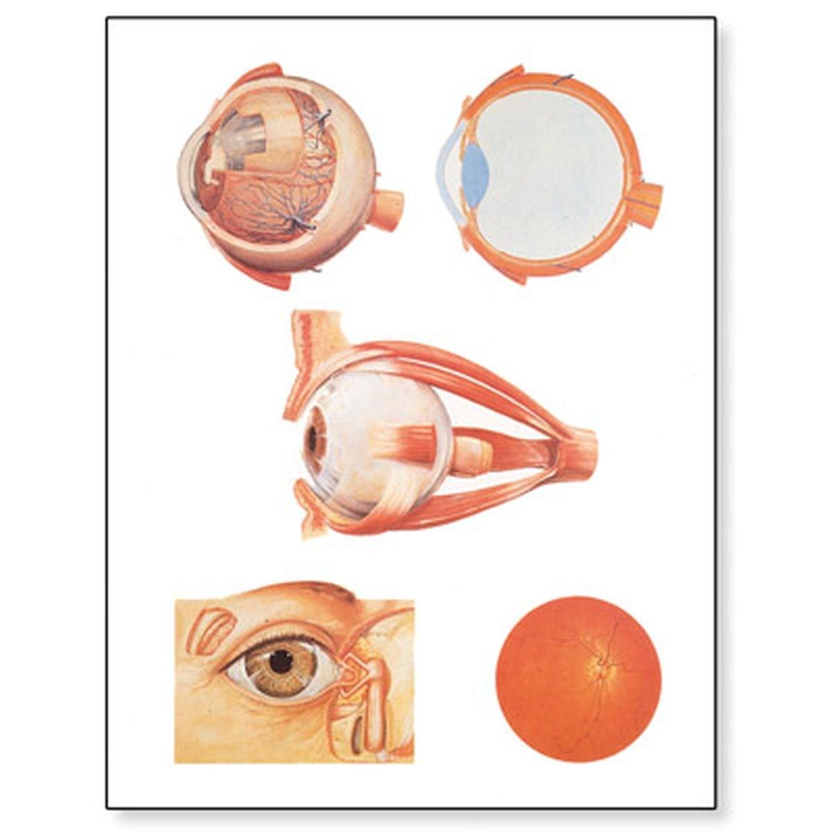 3B Scientific V2011M Lehrtafel, Das Auge I, Anatomie: Amazon.de ...