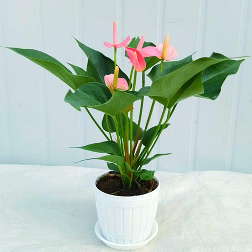 Anthurium Andraeanum Plant Seeds 80 Organic Easy to Grow /'Pink Champion/' Flower Air Purification Houseplant Best for Indoor House Office Pink
