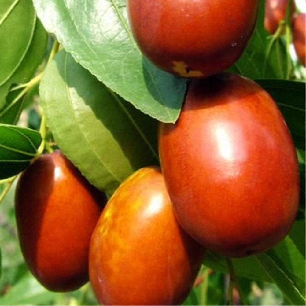 20Pcs Big Jujube Seed, Organic Chinese Red Date Seed, Sweet Delicious Garden Plant Hinmay