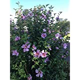 Hibiscus,Rose of Sharon 50 Seeds (Hibiscus syriacus) -Cold Hardy, Perennial !
