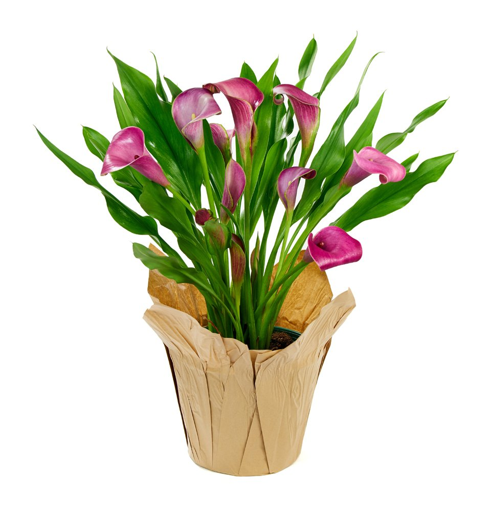 KaBloom Live Plant Collection: 15'' Purple Calla Lily Plant in a 6'' Kraft Covered Pot