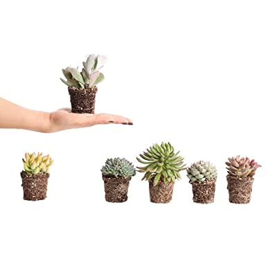 Plants by Post Mini 2.5-inch Assorted Succulents : Garden & Outdoor