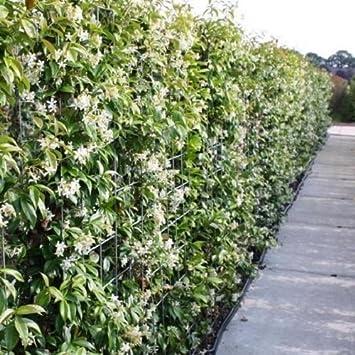 3 Sternjasmin (Immergrün & Winterhart) - 1 Meter Hecke : 3 Pflanzen  kaufen/2 bezahlen / Weiß - 1,5 Liter Topfen - Wintergrün   ClematisOnline  ...
