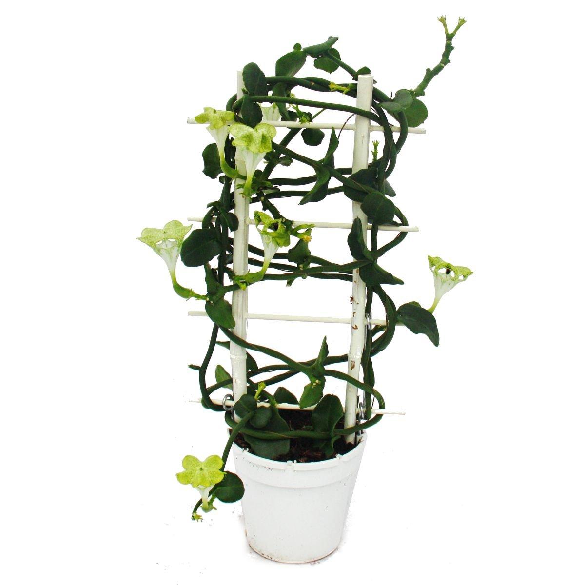 Gynura Purple Passion Samtblatt Samtnessel Lilafarbene Pflanze
