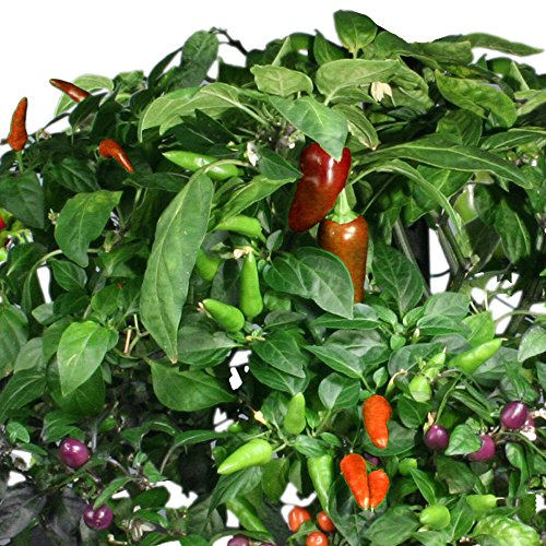 61cWP2FCvOL - Miracle-Gro AeroGarden Chili Pepper Seed Pod Kit