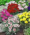 Earth Seeds Co 100 Pcs Dianthus Mix Evergreen Flower Seeds Hardy Perennial Ideal for Garden and beds