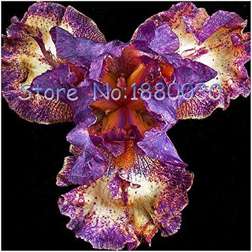 Japanese Iris (Seeds Shopp - Purple + White + brown spots pattern of Japanese blue iris flowers Seeds & DIY home garden easy 50PCS Extreme Survival Brand New !)