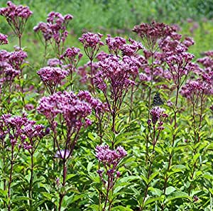 1 Starter Plant Eutrochium purpureum Little Joe Pye Weed in Gallon Pot