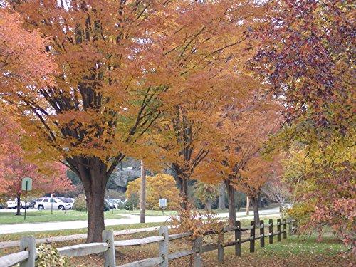 - Japanese Zelkova, Zelkova serrata, Tree 20 Seeds (Fall Color, Fast, Bonsai, Hardy)